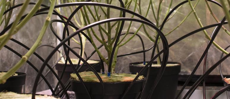 Comment cultiver du cannabis avec l'irrigation goutte-à-goutte