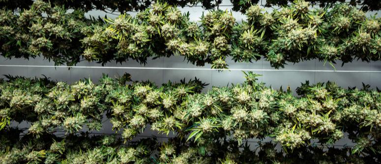 Le meilleur environnement pour le séchage du cannabis