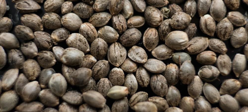Cómo aprovechar las semillas de cannabis sobrantes