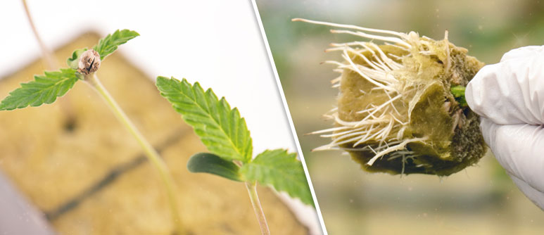 WHEN TO TRANSPLANT YOUR CANNABIS SEEDLINGS