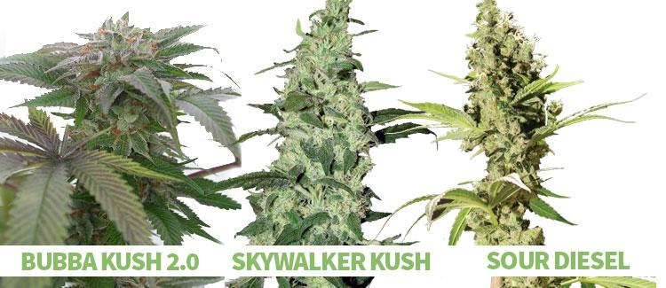 β-caryophyllene-rich cannabis strains