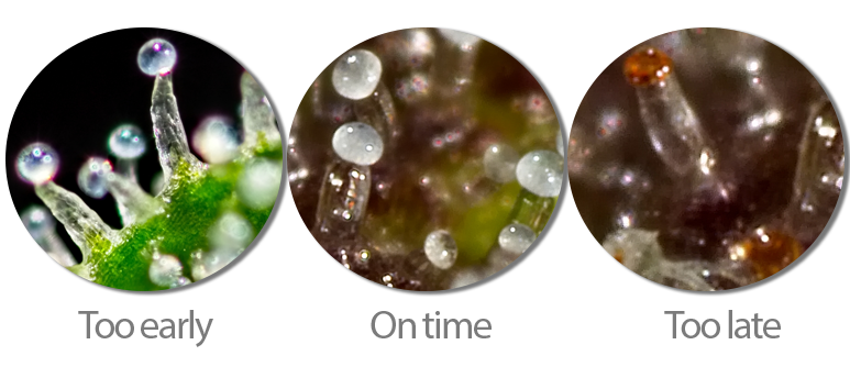 TWO METHODS: PISTILS & TRICHOMES