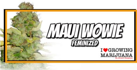 Maui Wowie seeds - I Love Growing Marijuana