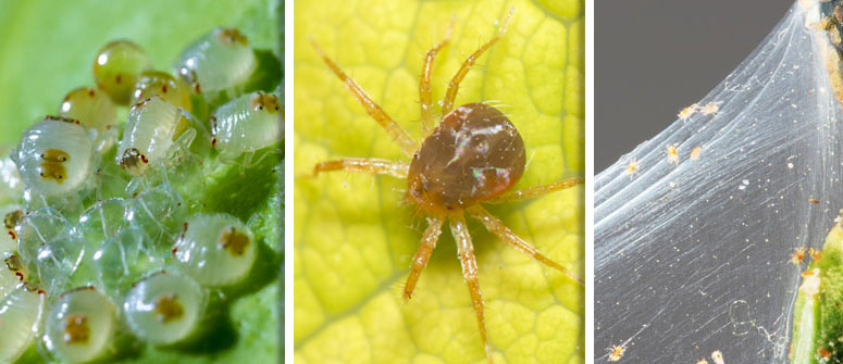 HOW TO SPOT SPIDER MITES