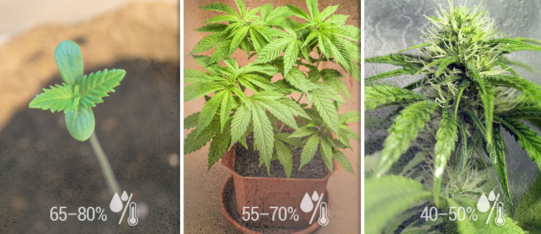 WHAT IS THE IDEAL RELATIVE HUMIDITY FOR CANNABIS?