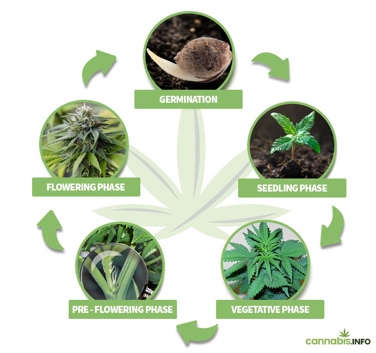 The 5 phases of the life cycle of cannabis plants