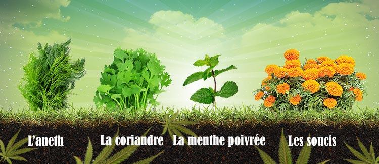 Des plantes qui protègent votre cannabis