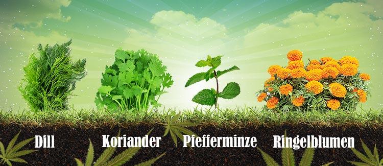 Pflanzen, die dein cannabis schützen