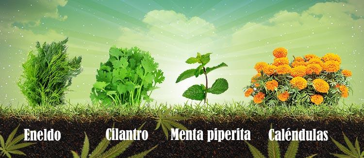 Plantas que defenderán tu marihuana