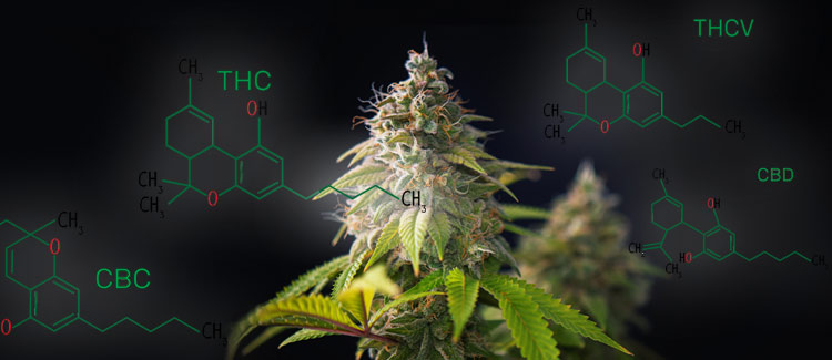 CBD CAN COUNTERACT THE EFFECTS OF THC AND WORKS BEST IN COMBINATION WITH OTHER CANNABINOIDS