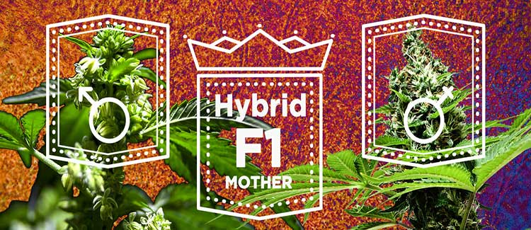 2. use f1 hybrids: