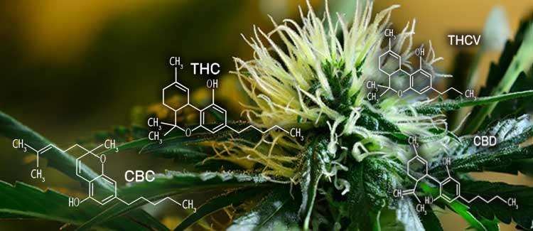 Perfil cannabinoide