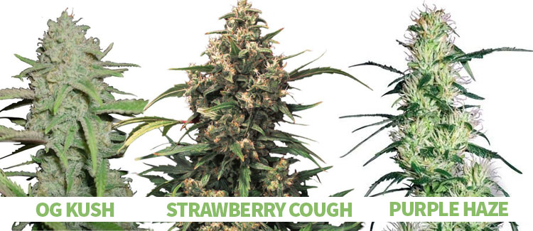 OCIMENE-RICH CANNABIS STRAINS