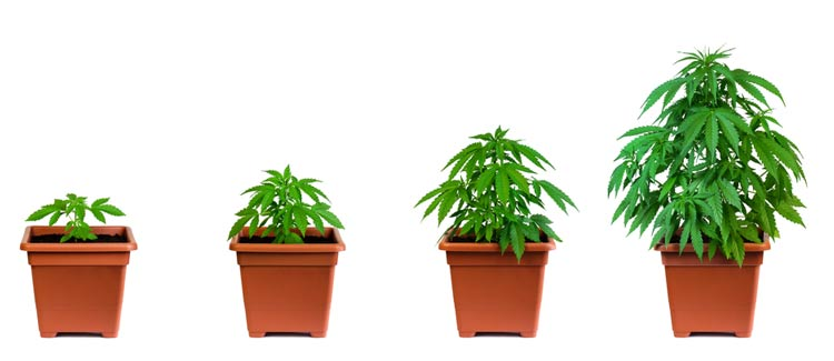 How to use npk when growing cannabis: