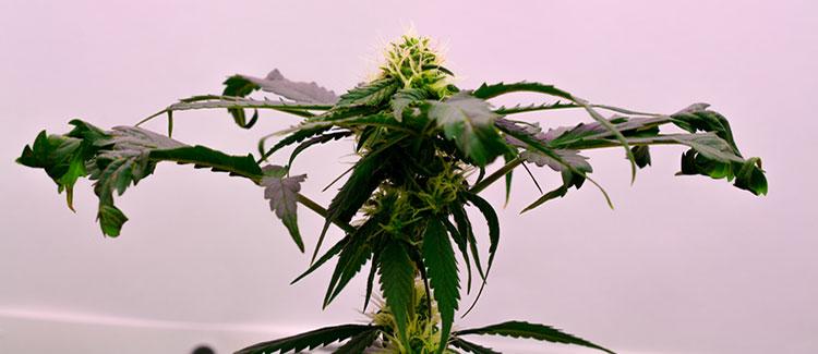 A wilted marijuana plant