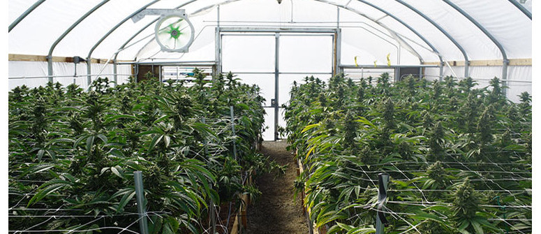 Tips for growing cannabis in a greenhouse