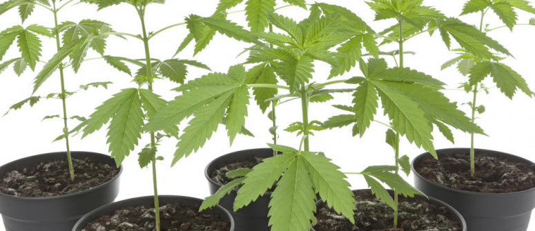 All you need to know about cannabis phenotypes and genotypes