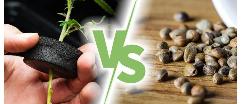 4 advantages of growing cannabis plants from seeds compared to cuttings