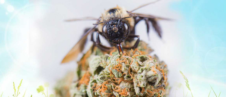 Cannahoney: can bees be taught to make honey from weed?