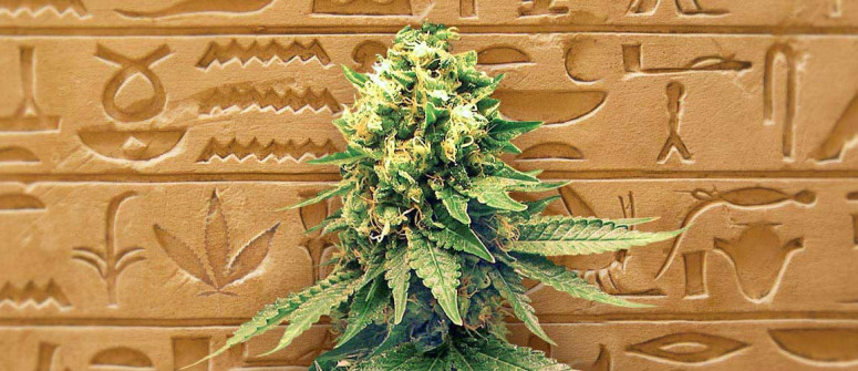 The history of autoflowering cannabis seeds