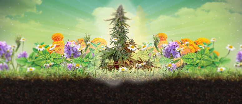 What is companion planting and why is it good for cannabis?