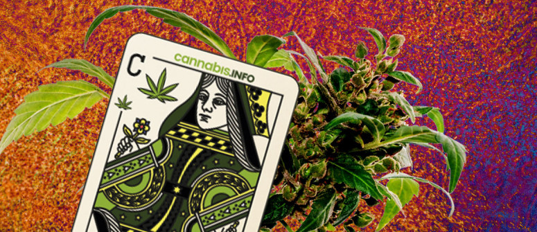 How to pick the perfect cannabis mother plant