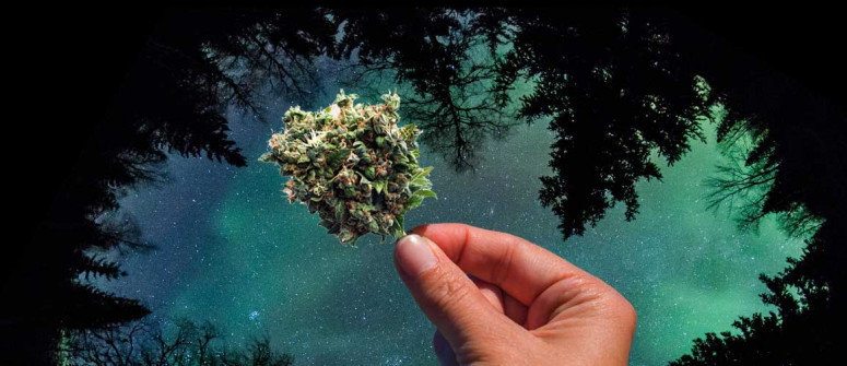 The origins of the Northern Lights strain