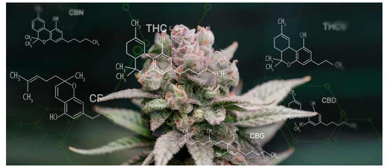 The 6 most important cannabinoids found in cannabis