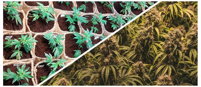 Achieve bigger cannabis yields with sea of green (sog)
