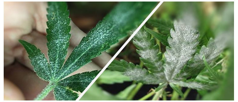 What to do about Powdery Mildew? Ask our grower