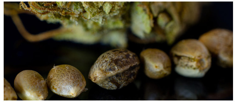 How to stabilize your own cannabis seeds