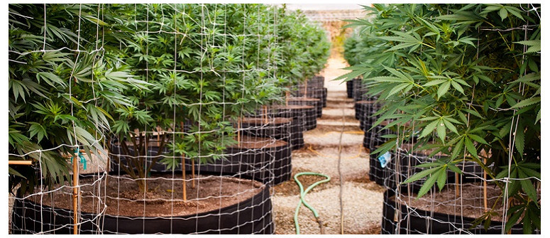 The fine art of trellising your marijuana plants