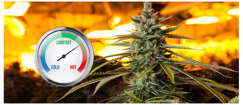 The ideal temperature for growing cannabis
