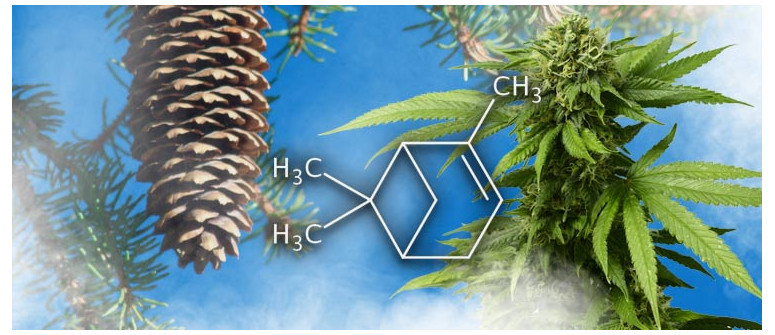 Terpene Profile: Pinene