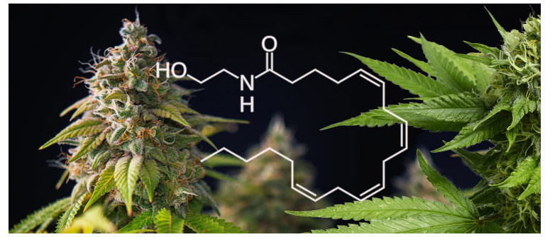 What is anandamide and how does it help marijuana users?