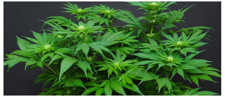 How to create an autoflowering cannabis strain