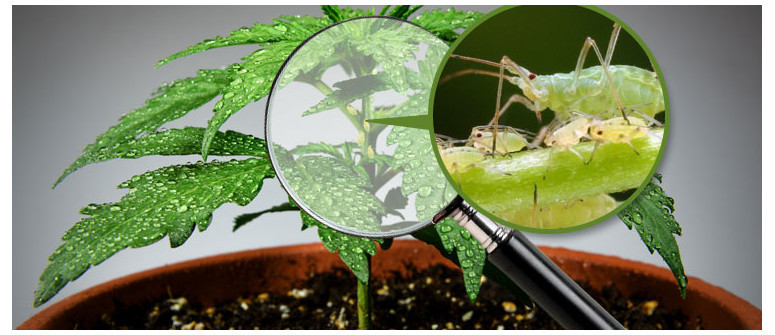 Aphids and marijuana plants: How to prevent, identify and treat