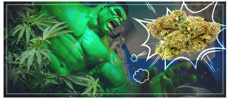 Cannabis Strain Review: Bruce Banner 3