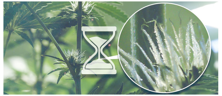 When to start counting the days of the cannabis flowering period