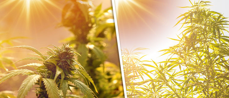 Understanding cannabis plants photoperiod
