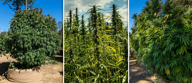 3 Examples of how big cannabis plants can grow outdoors