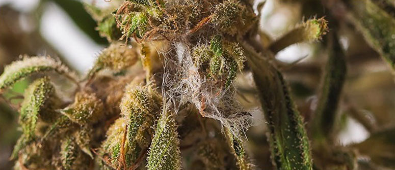 How to deal with/prevent bud rot in cannabis plants