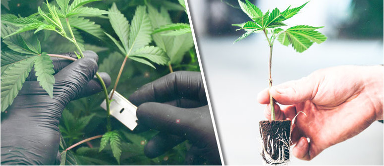 How to make clones (cuttings) from cannabis plants
