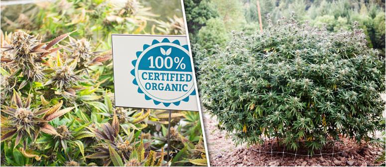 8 reasons why to grow organic marijuana