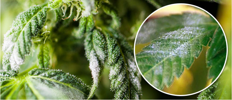 Powdery Mildew: what is it, how to treat, and how to prevent it