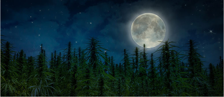 Moon gardening and cannabis: using the moon for a better grow