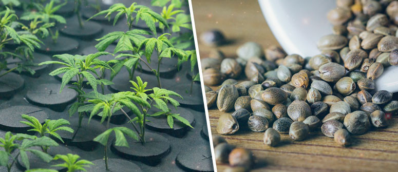 Cannabis seeds vs clones: what's best for you?