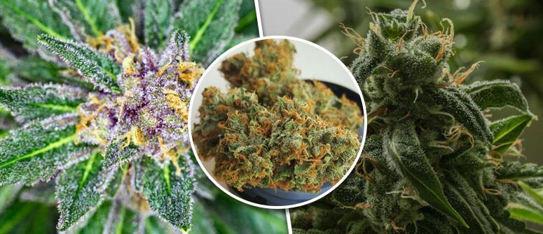 What are 'Kush' cannabis strains?