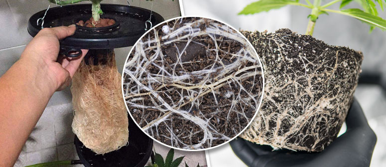 Why a healthy root system is so important for growing cannabis