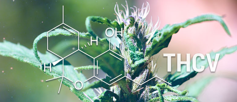 What is THCV (Tetrahydrocannabivarin)